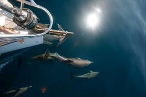 дельфины у яхты